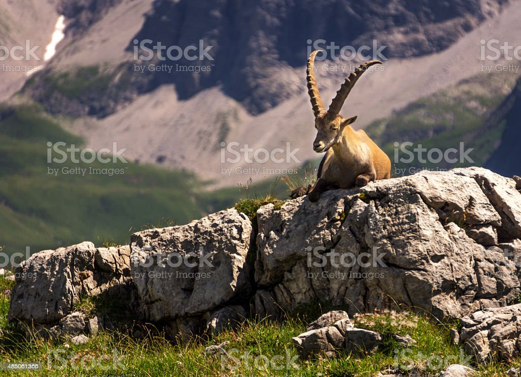 Chamois sitting on a rock infront of a mountain stock photo
