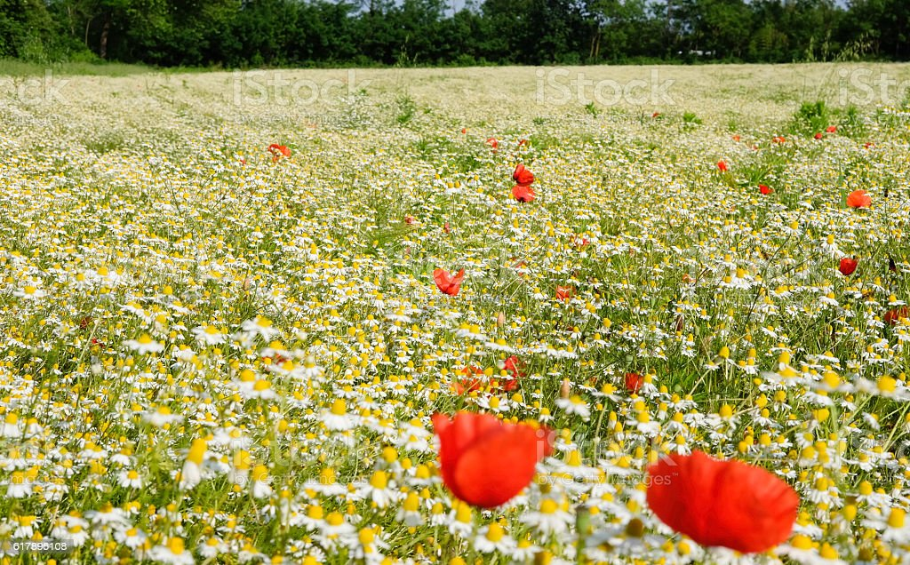 Chamomile and poppies royalty-free stock photo