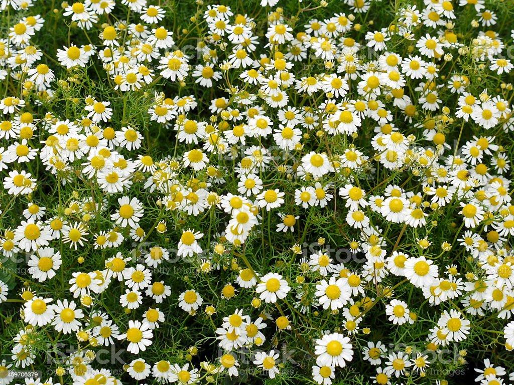 chamomile background stock photo