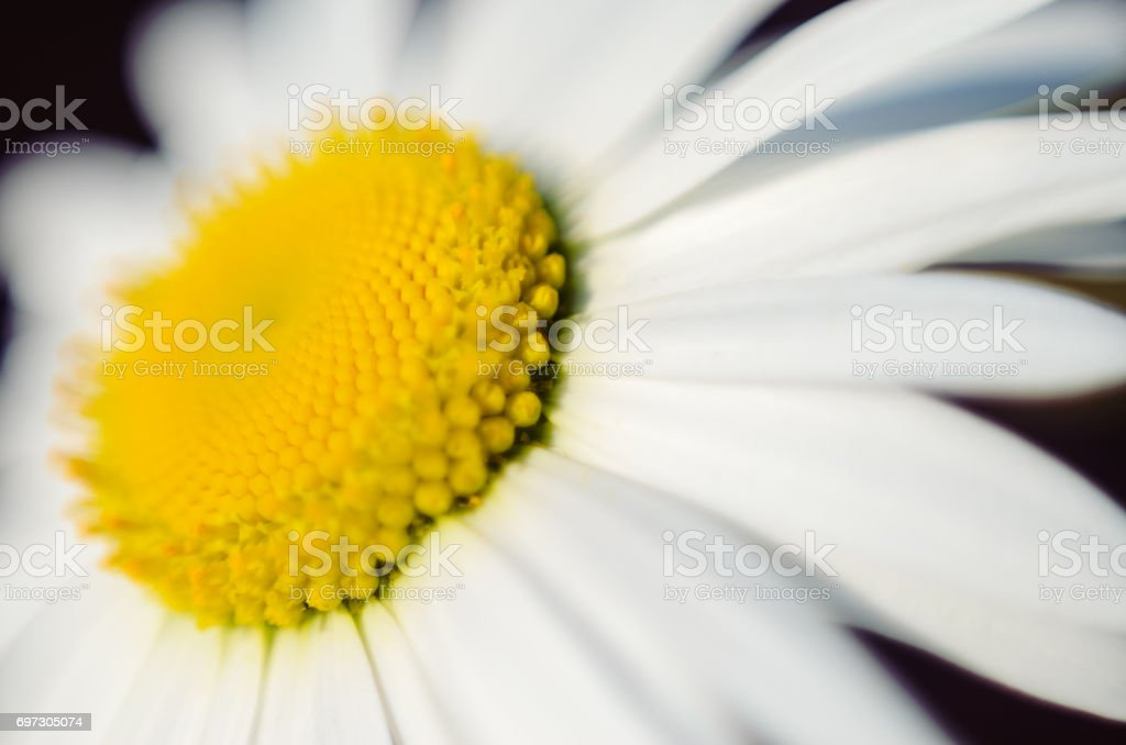 Chamomile. Blooming flower stock photo