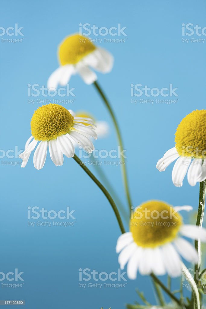 Chamomile Blossoms royalty-free stock photo
