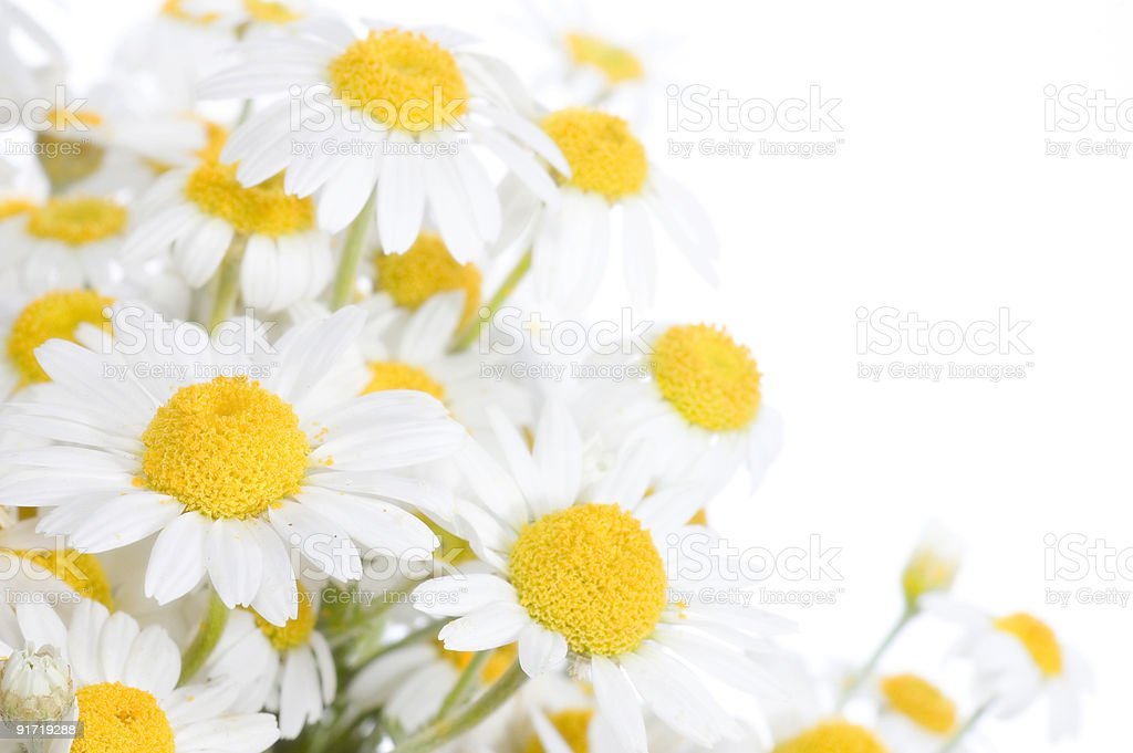 Chamomile border royalty-free stock photo