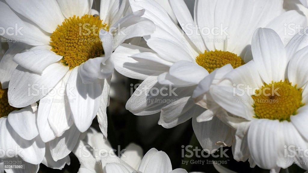 Ramo de flores de manzanilla-Camomile, acercamiento vista foto de stock libre de derechos