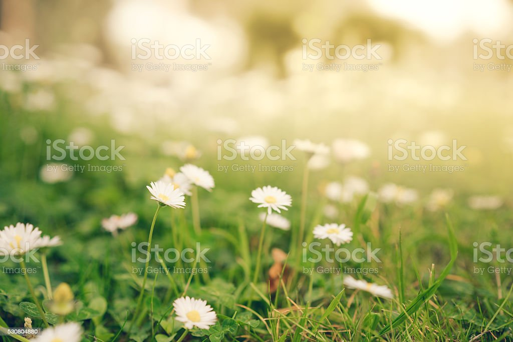 Chamomile daisy flowers in warm golden sunlight, soft focus stock photo