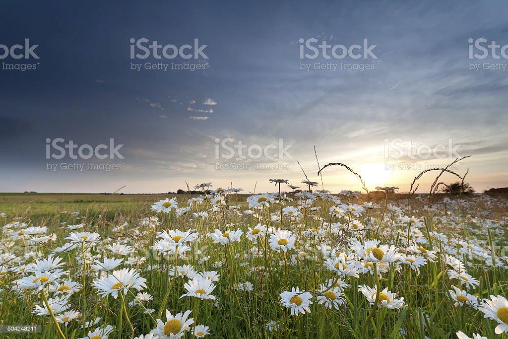 chamomile field at sunset stock photo