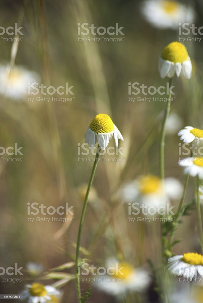 Chamomile field detail royalty-free stock photo