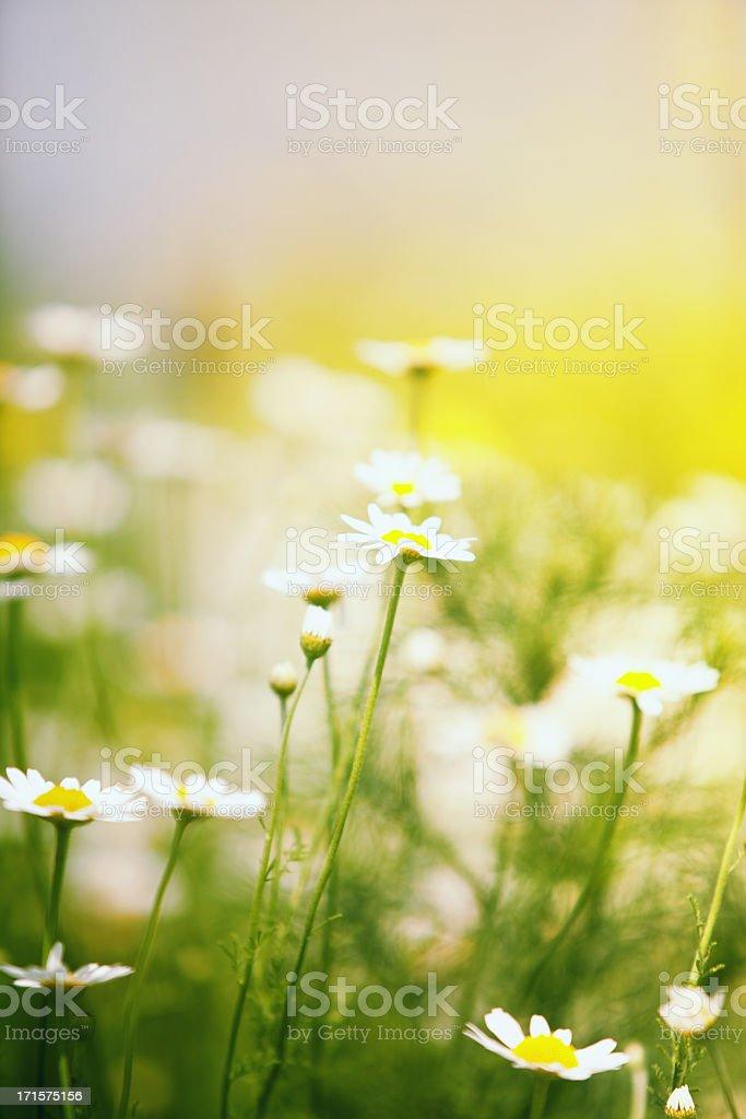 Chamomile field stock photo