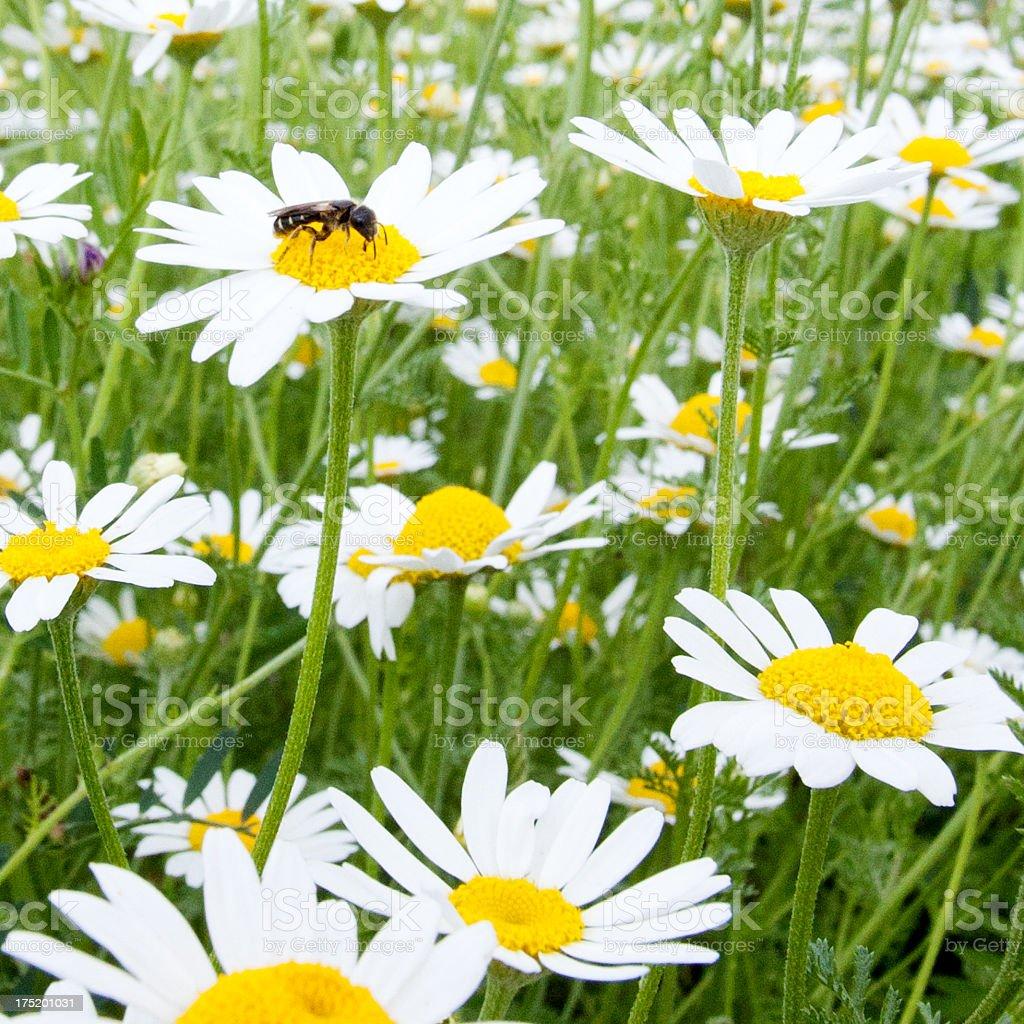 Chamomile field royalty-free stock photo