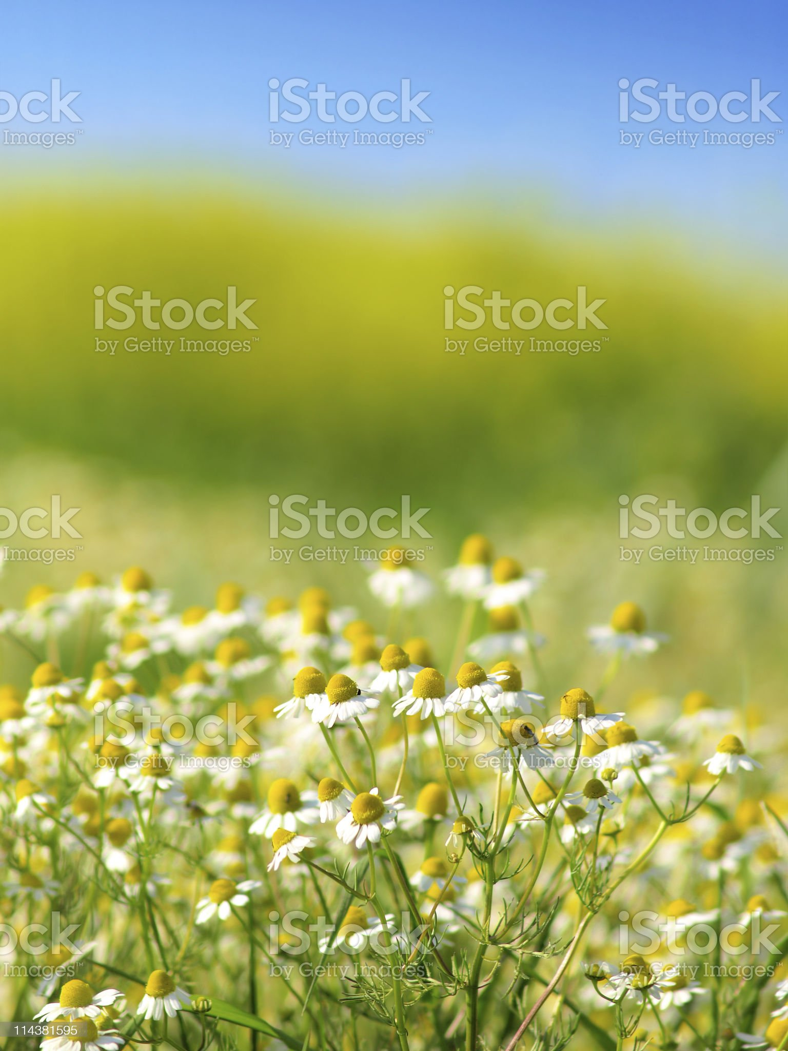 Chamomile flower in the field royalty-free stock photo