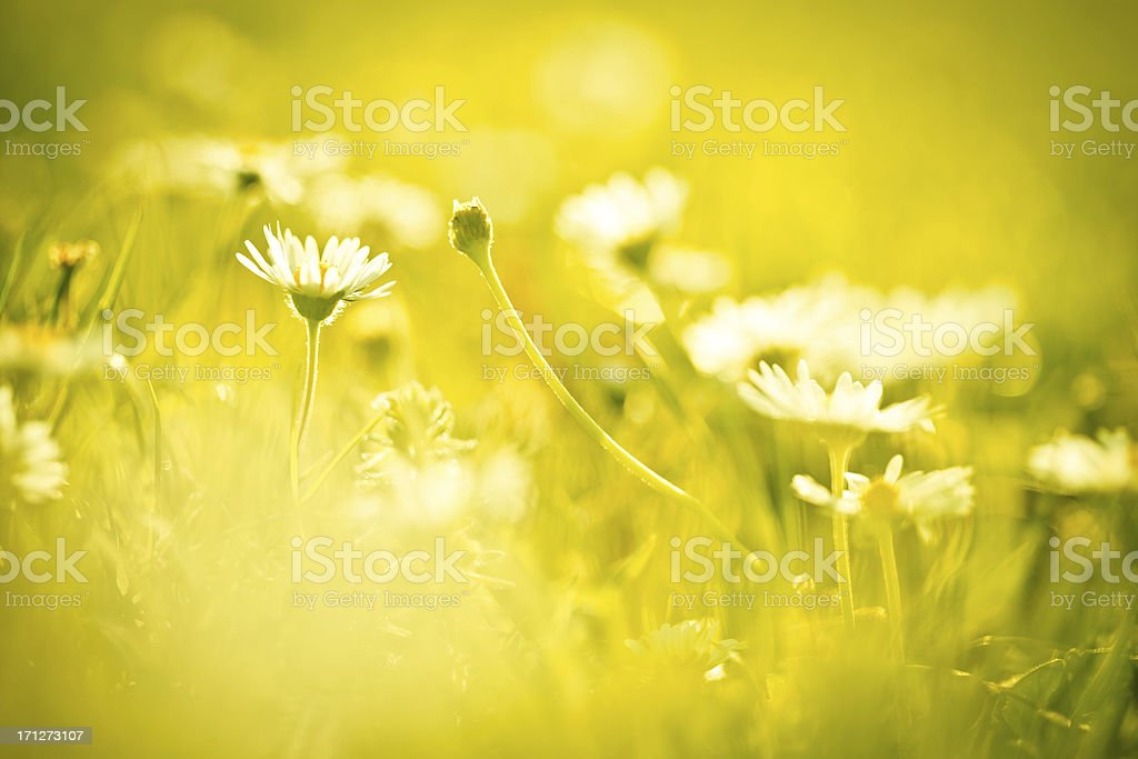 Chamomile flower in the field stock photo