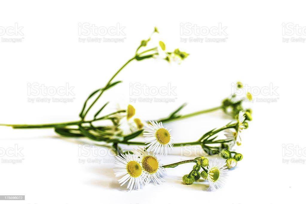 chamomile flower isolated on white background stock photo