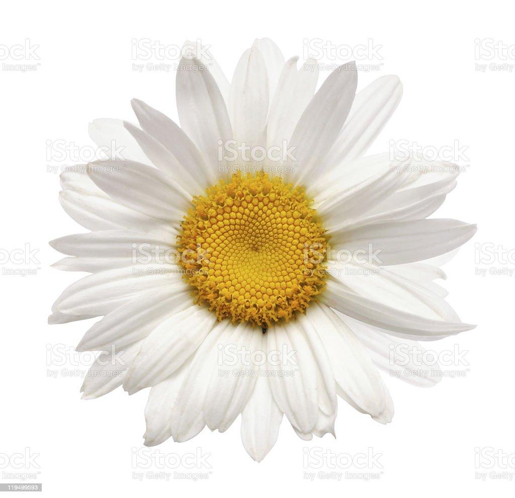 chamomile flower isolated royalty-free stock photo