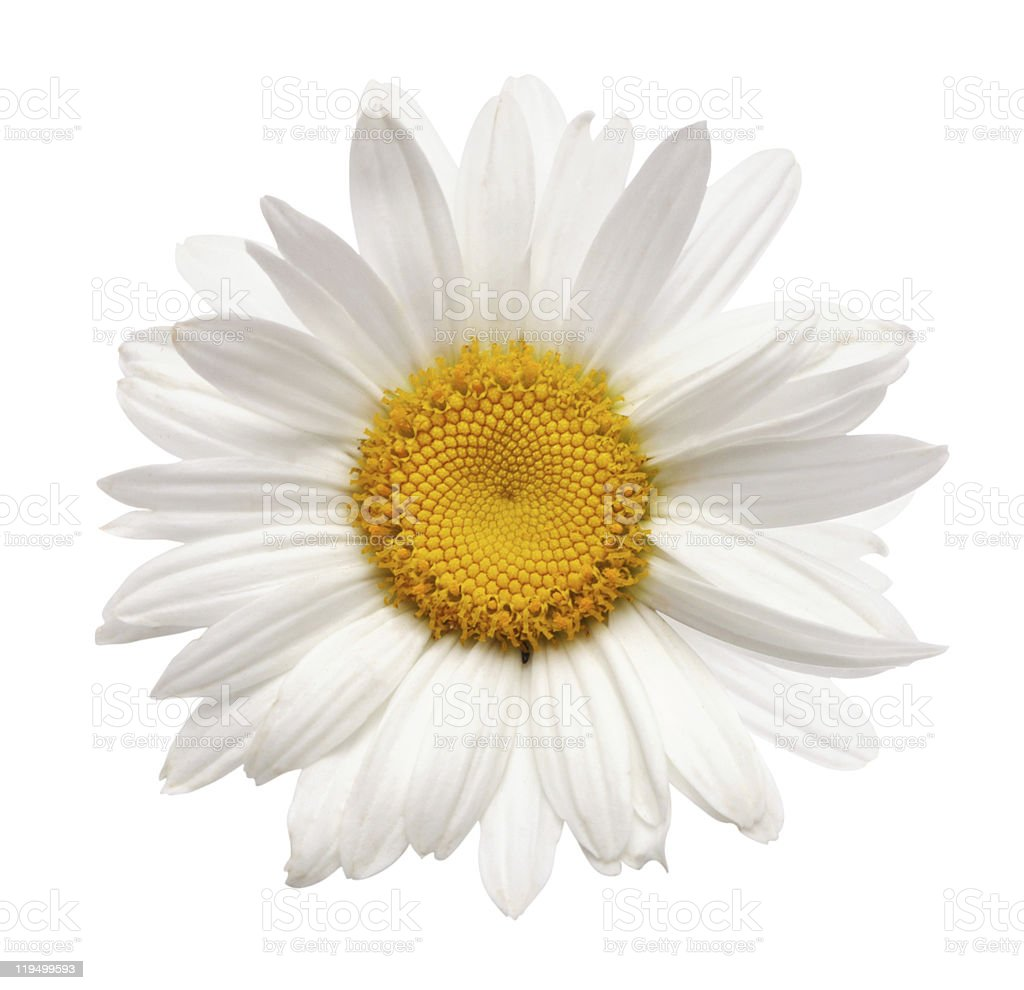 chamomile flower isolated stock photo