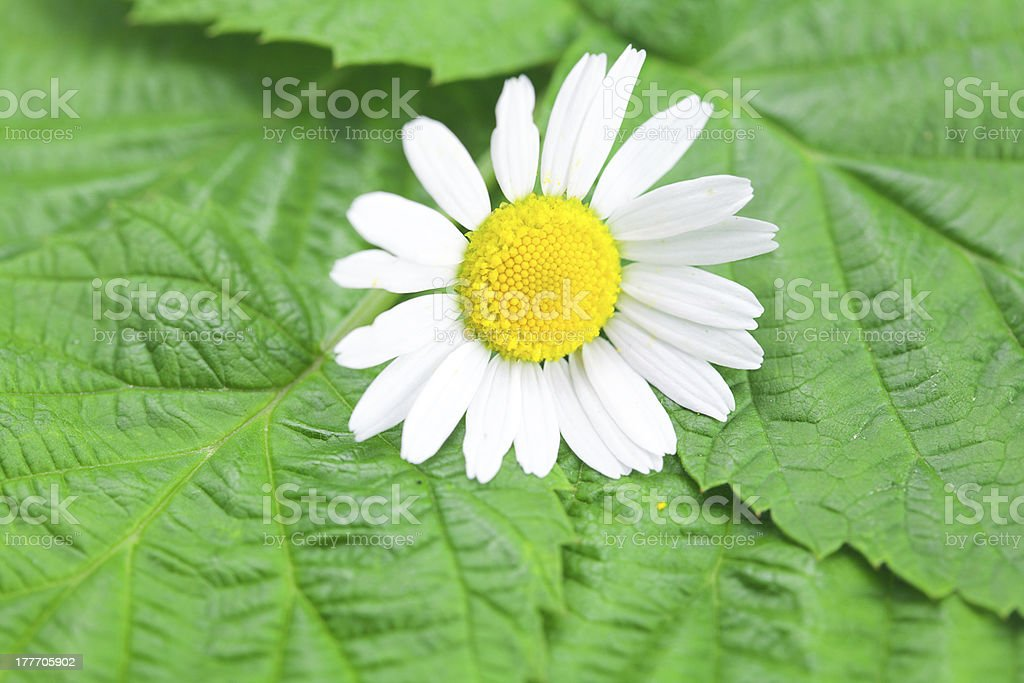 Chamomile flower on a background of green leaves royalty-free stock photo