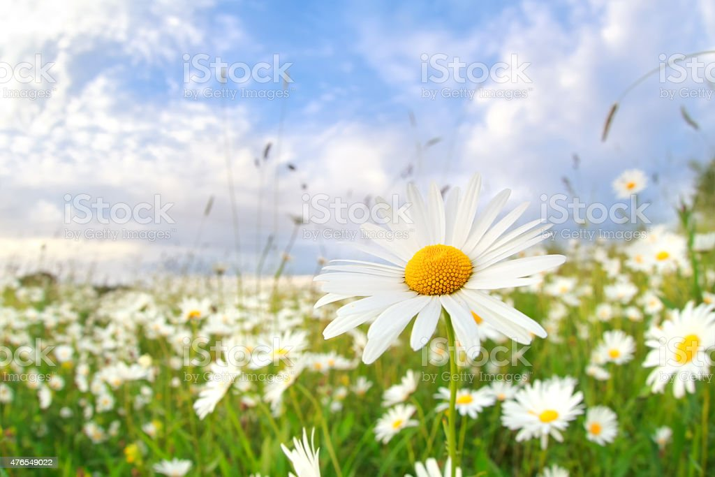 chamomile flower on summer meadow stock photo