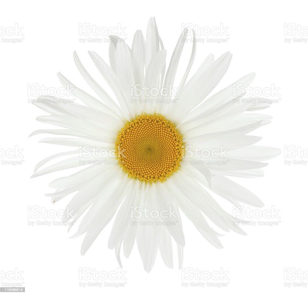 Chamomile flower royalty-free stock photo