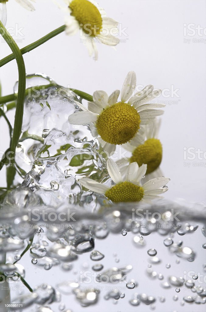 chamomile flowers floating in boiling water royalty-free stock photo