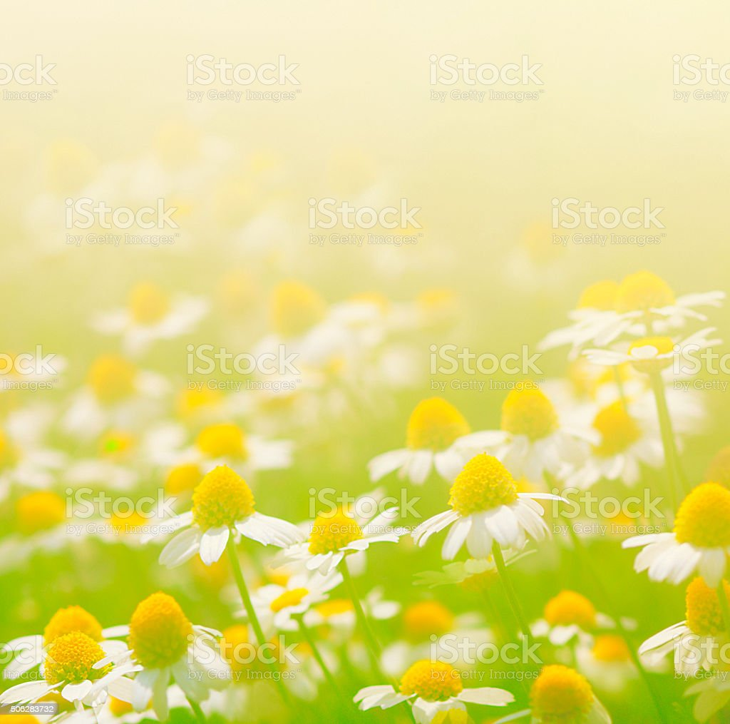 chamomile flowers in meadow stock photo