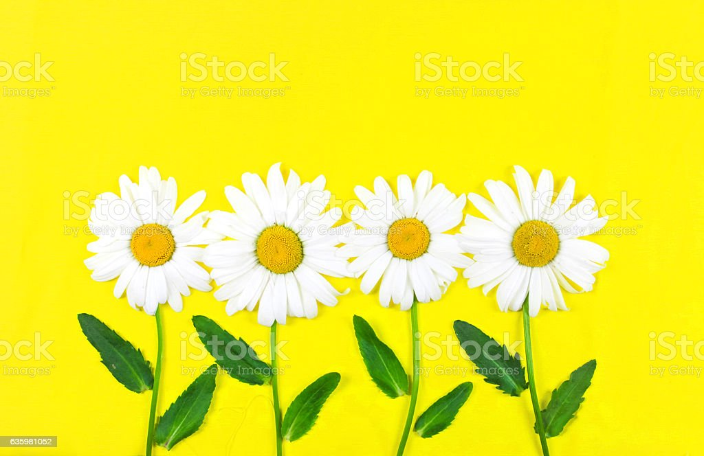 Chamomile flowers in row on yellow background stock photo