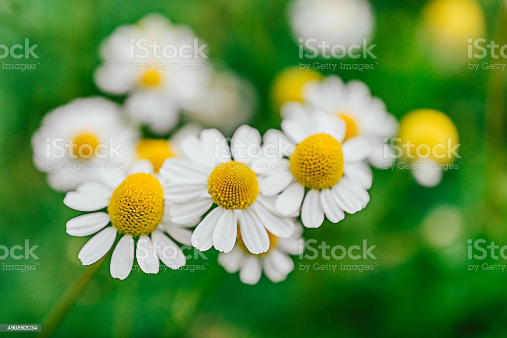 Chamomile flowers in summer nature stock photo