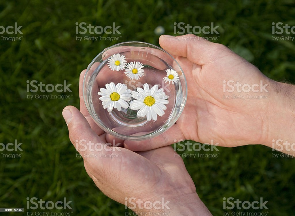 Chamomile flowers in the water royalty-free stock photo