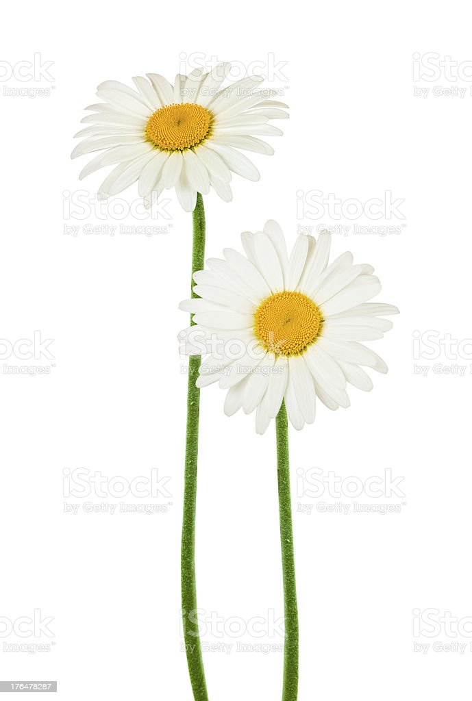chamomile flowers isolated on white royalty-free stock photo
