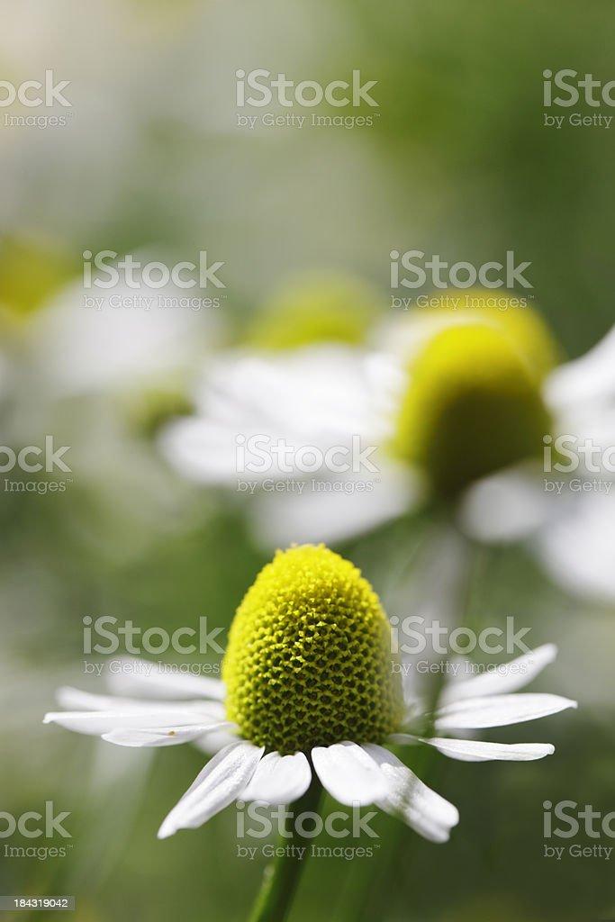 Chamomile Flowers Matricaria Recutita royalty-free stock photo