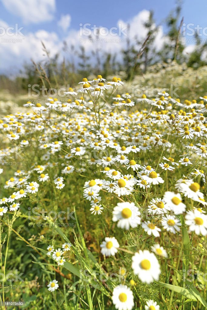 chamomile flowers meadow royalty-free stock photo