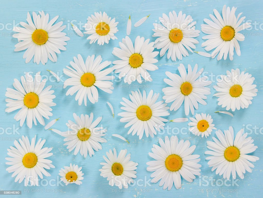 Chamomile flowers on blue wooden background. stock photo