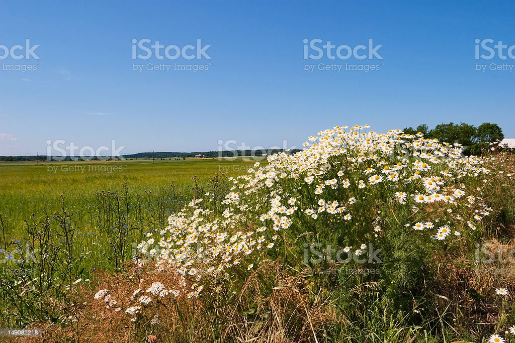 Chamomile flowers royalty-free stock photo