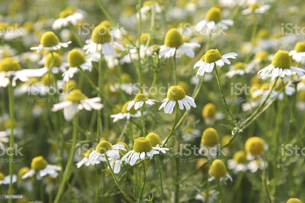 chamomile flowers royalty-free stock photo