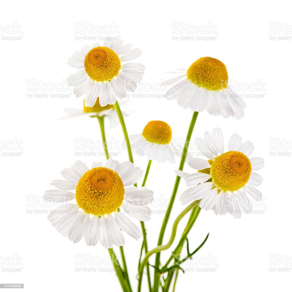 Chamomile flowers stock photo