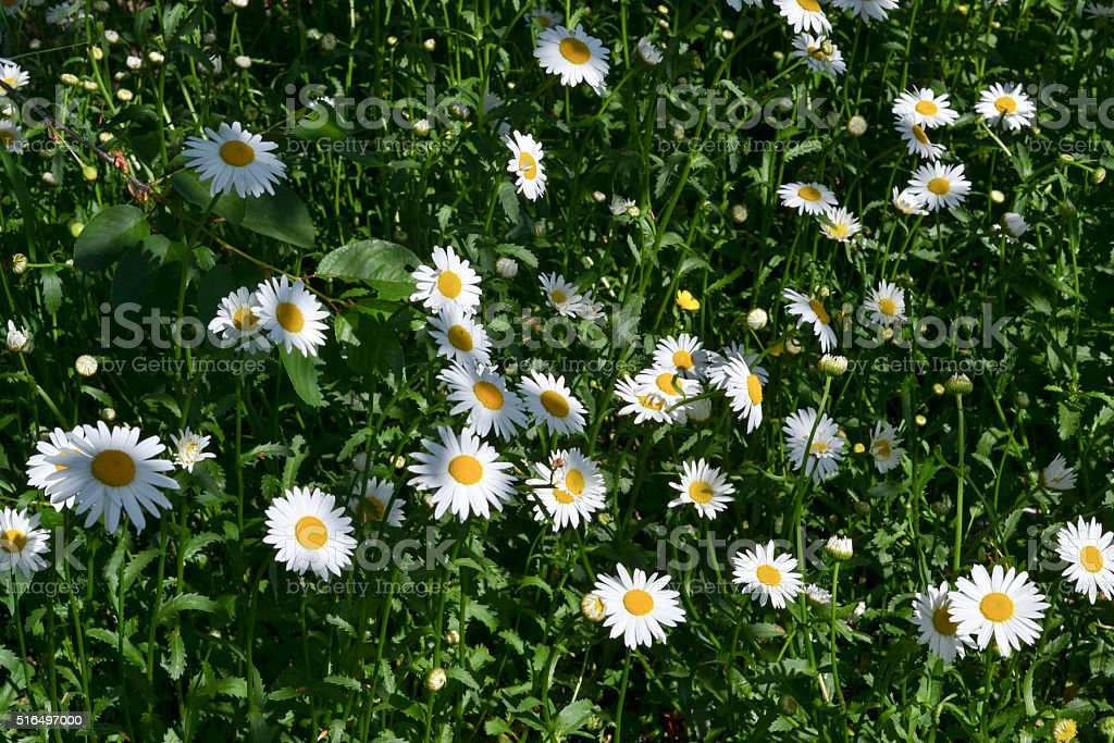 Chamomile in a field, summer Daisies stock photo