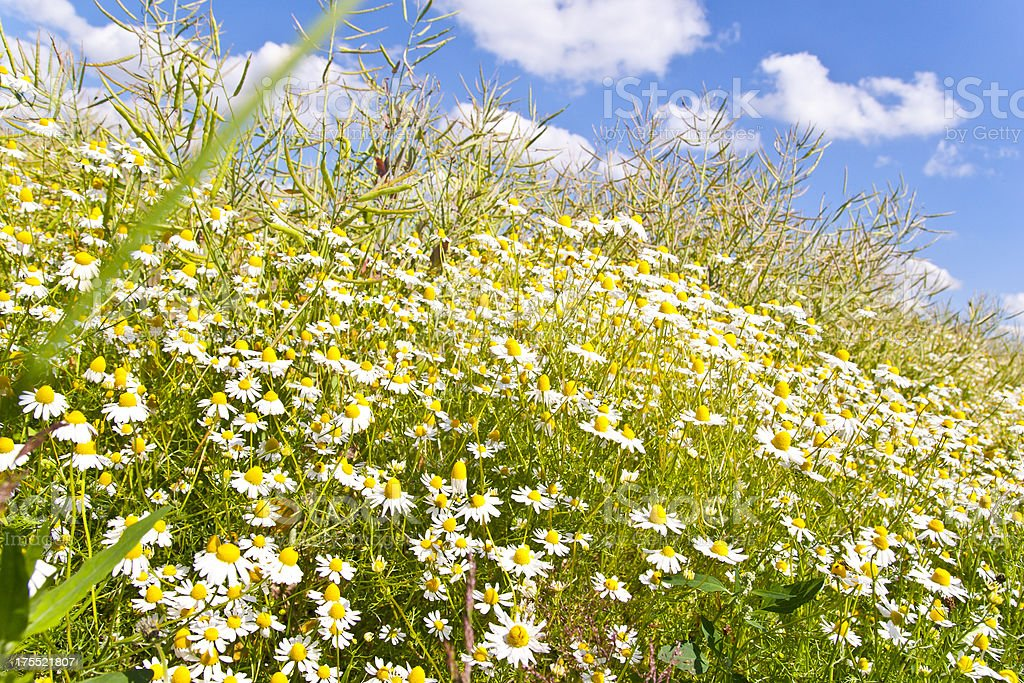 Chamomile in Canola Field royalty-free stock photo