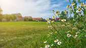 Chamomile in field by a village