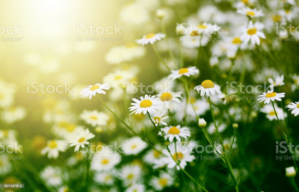 Chamomile in green grass. stock photo
