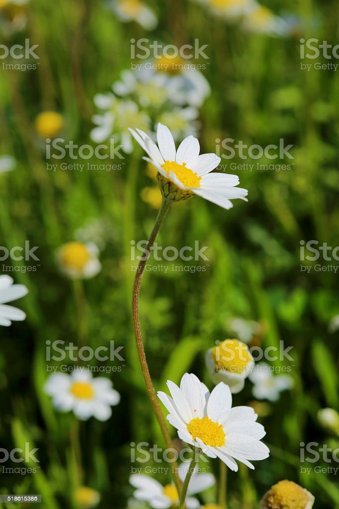 Chamomile in green grass stock photo