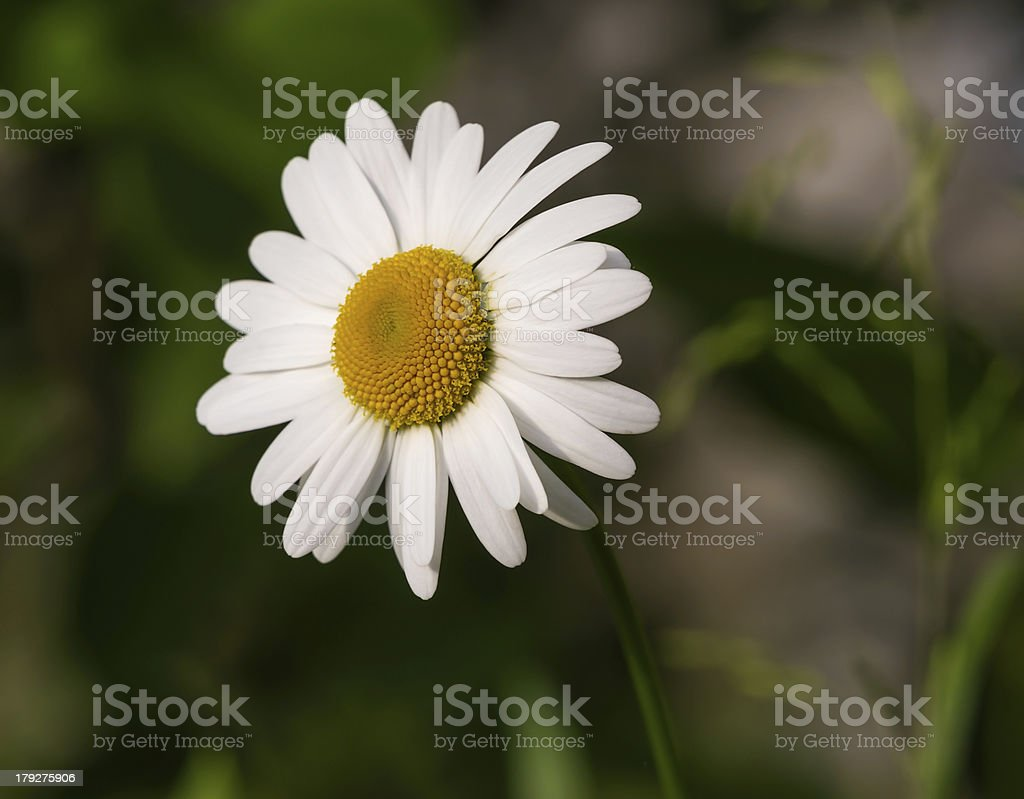 chamomile in the garden royalty-free stock photo