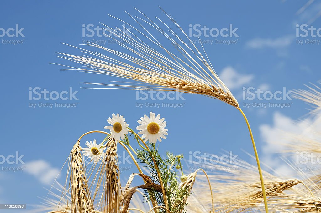 chamomile on field royalty-free stock photo