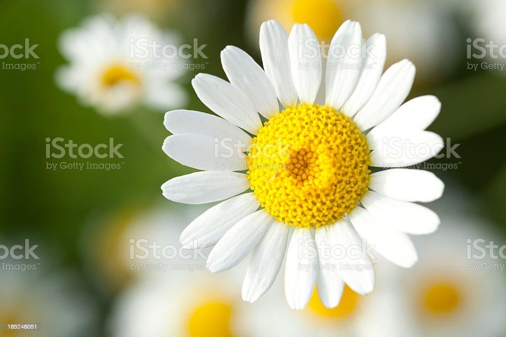 chamomile stock photo