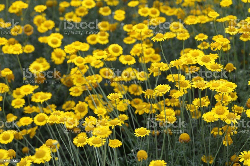 chamomile (dyer's chamomile) stock photo