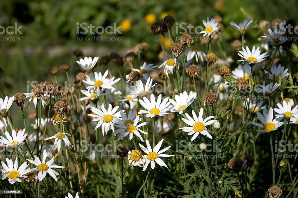 Chamomile royalty-free stock photo