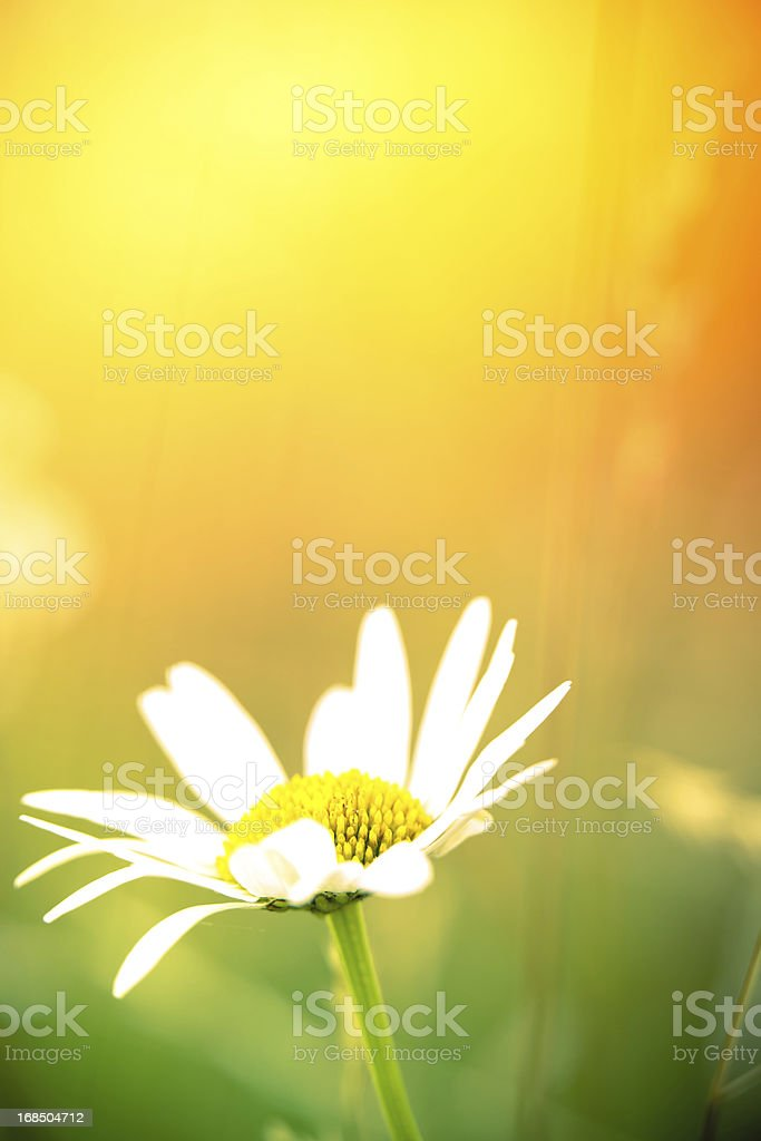 Chamomile plant in meadow royalty-free stock photo
