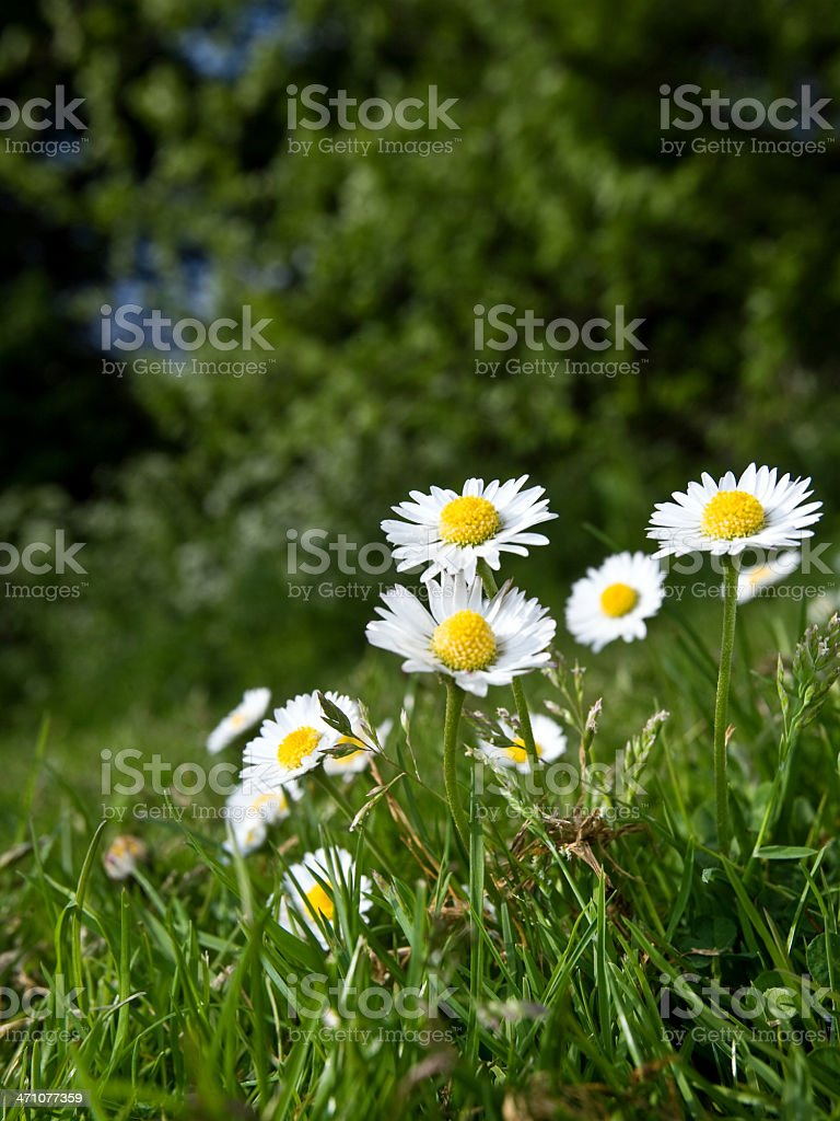 Chamomile Plant royalty-free stock photo