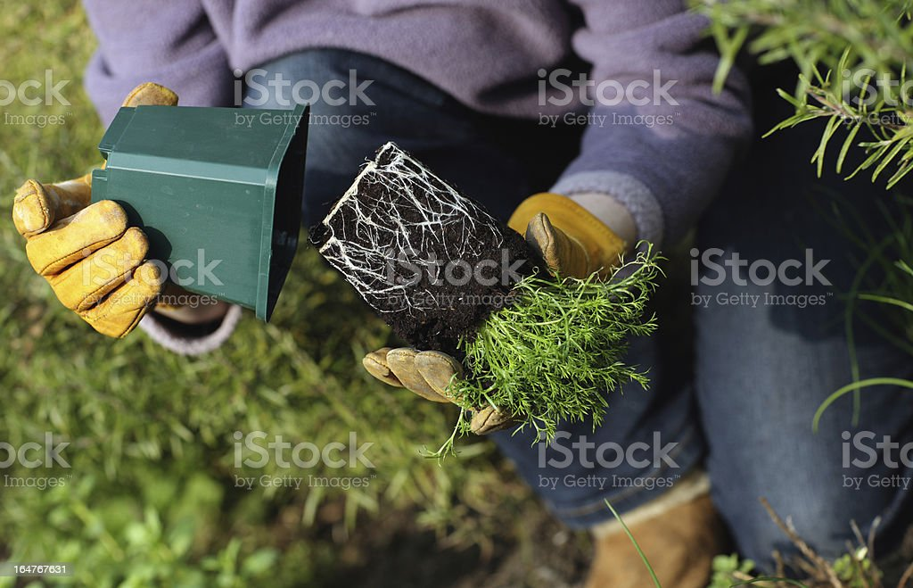 Chamomile plant showing roots royalty-free stock photo