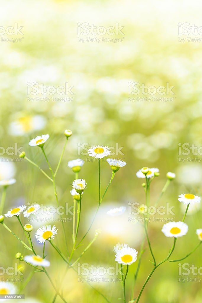Chamomile plants in meadow royalty-free stock photo