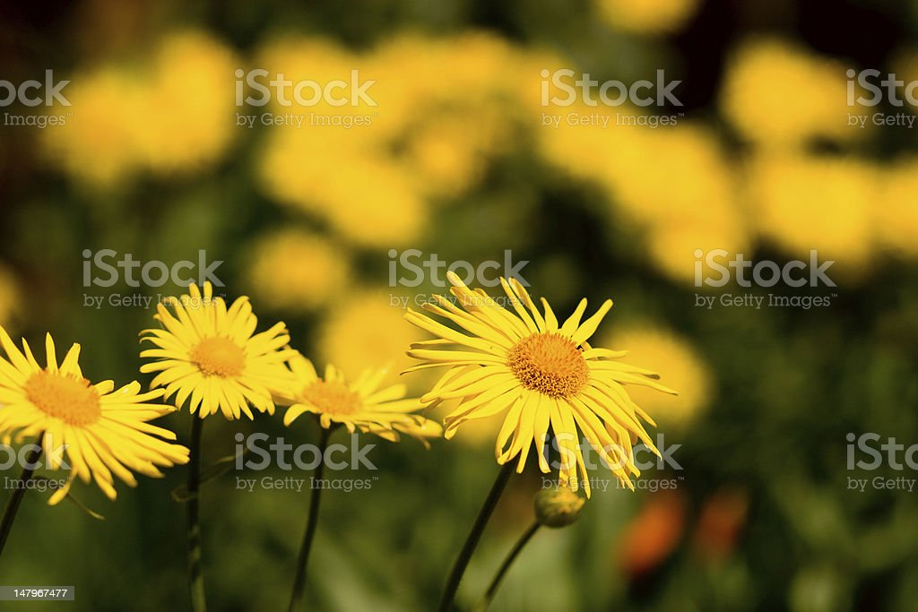 Chamomile plants royalty-free stock photo