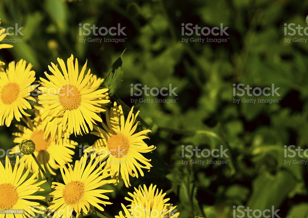 Chamomile plants royalty-free stock photo