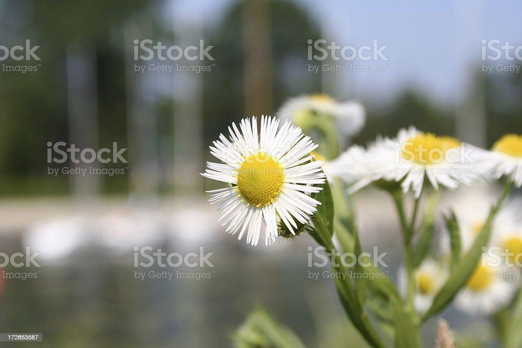 Chamomile Tea Flower Close-up stock photo