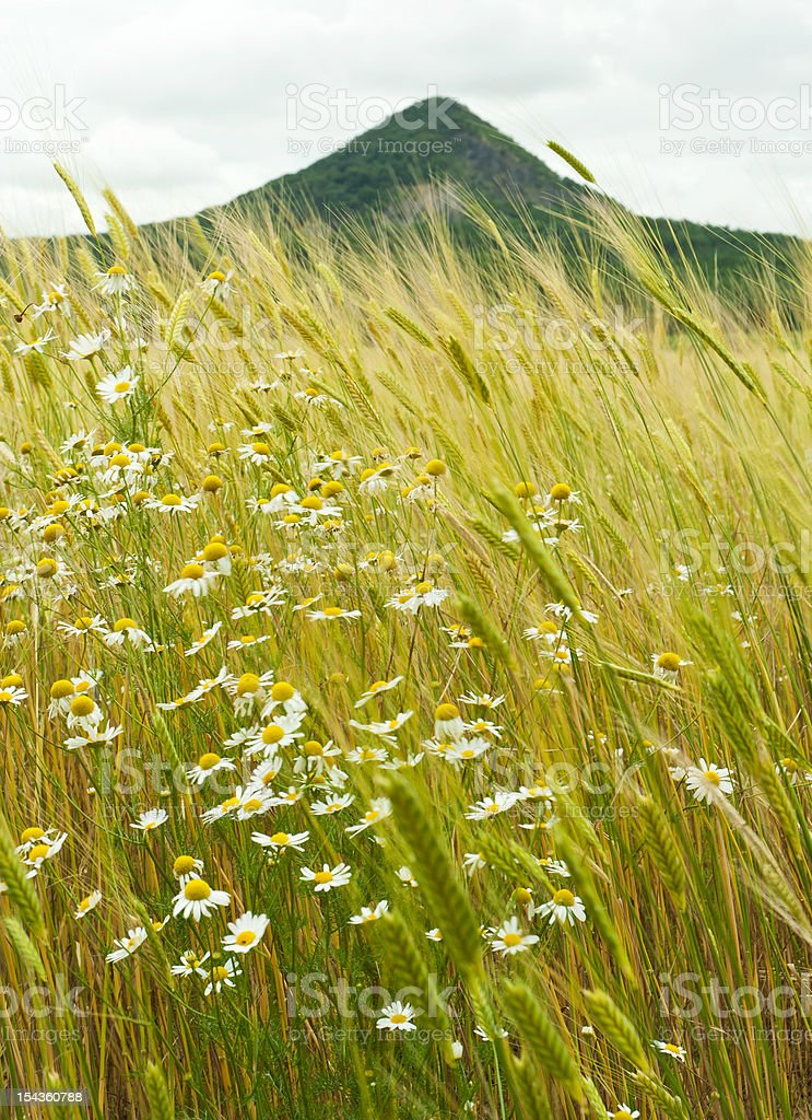 Chamomiles and wheat ears royalty-free stock photo
